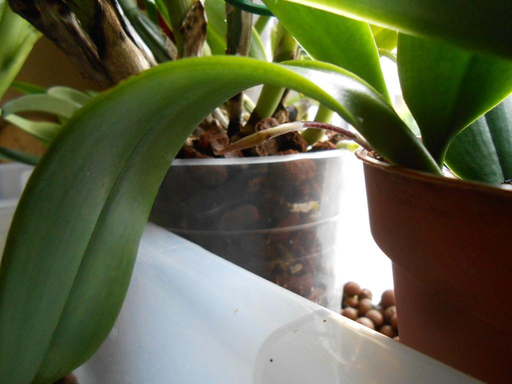 bulbophyllum plumatum x longissimum 12_20114
