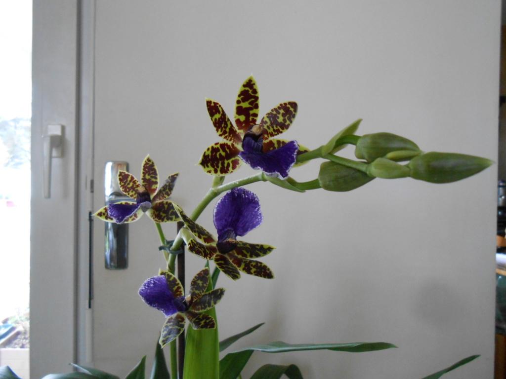 Zygopetalum trozy blue 12_20116