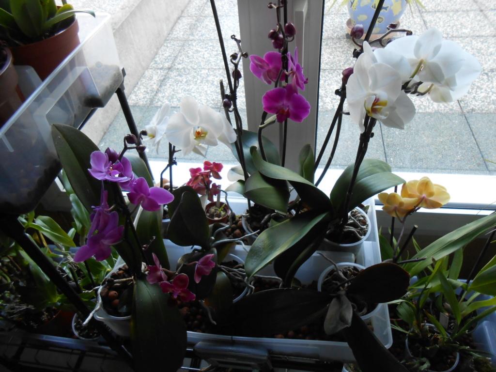 Floraison Phalaenopsis hybrides 12_20122