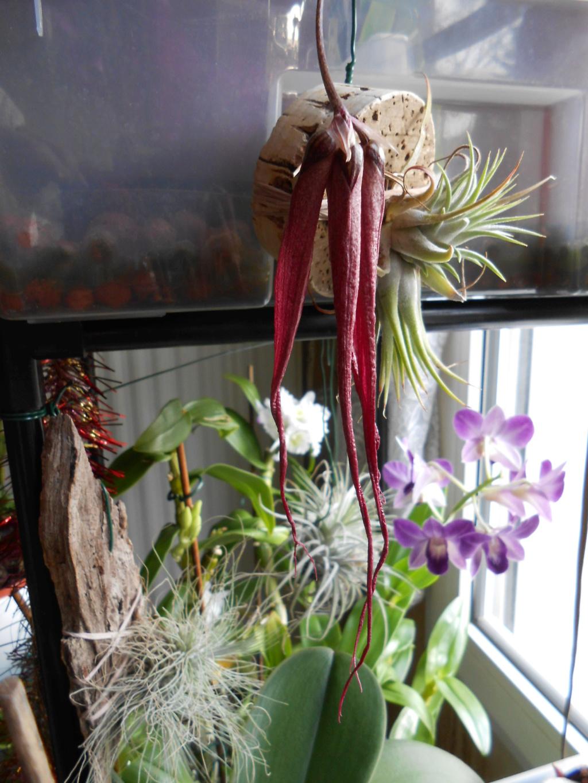bulbophyllum plumatum x longissimum 15_20111