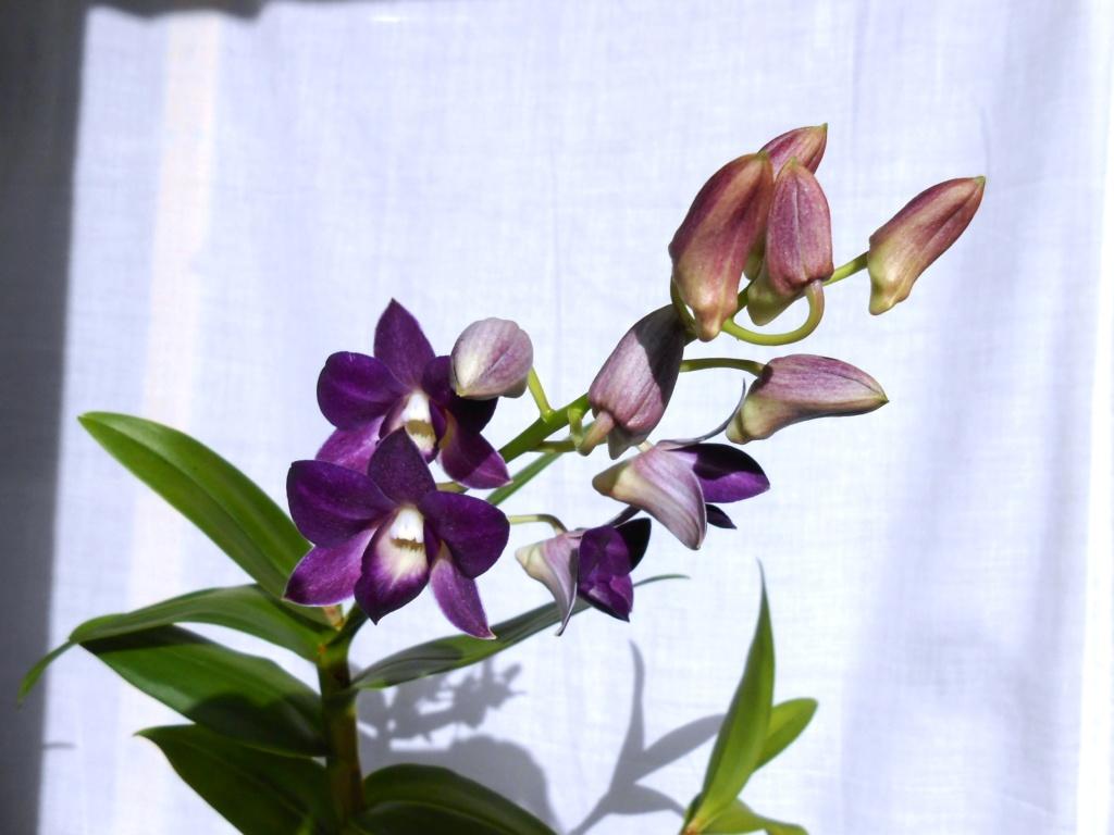 Dendrobium type Phalaenopsis 16_20115