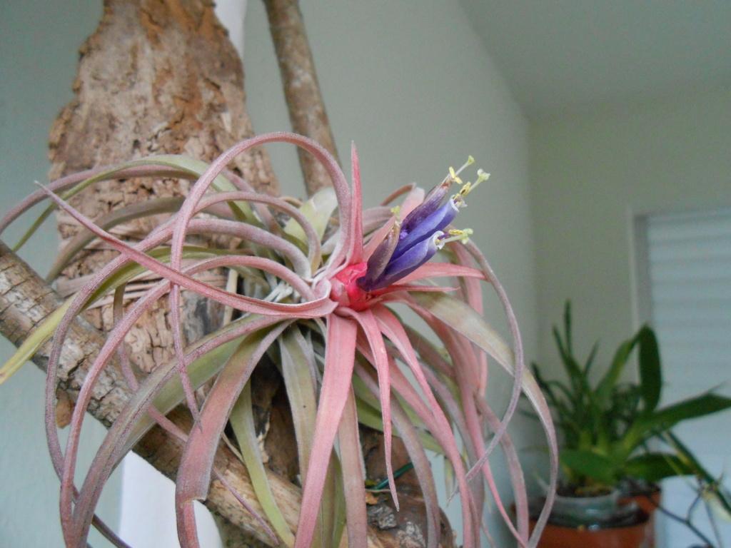 Floraison Tillandsia velutina 17_20110