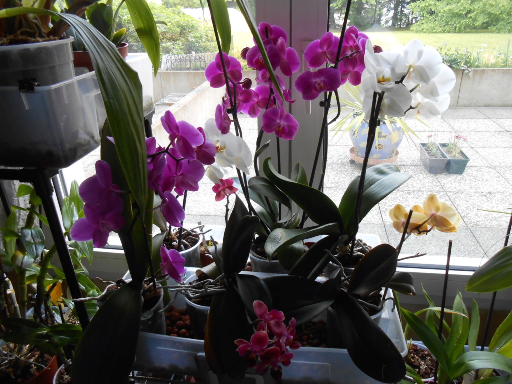Floraison Phalaenopsis hybrides 17_20113