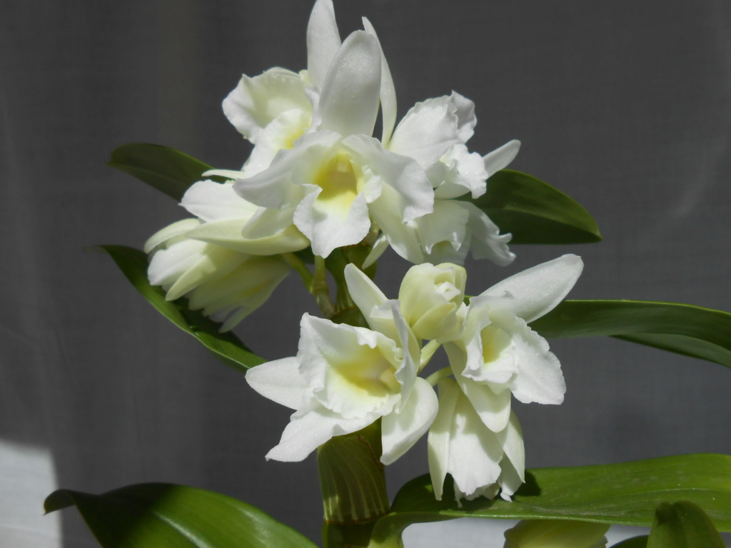 Dendrobium Spring Dream 'Apollon' 17_20114