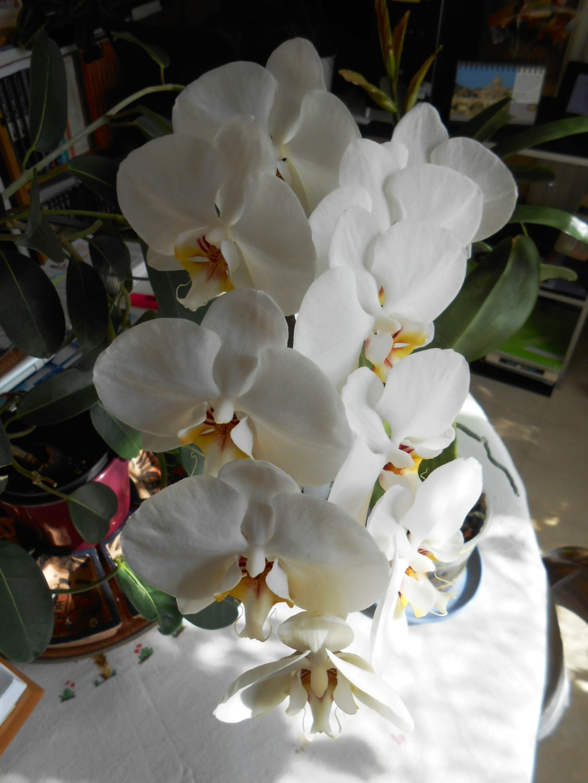 Floraison Phalaenopsis hybrides 1_202010