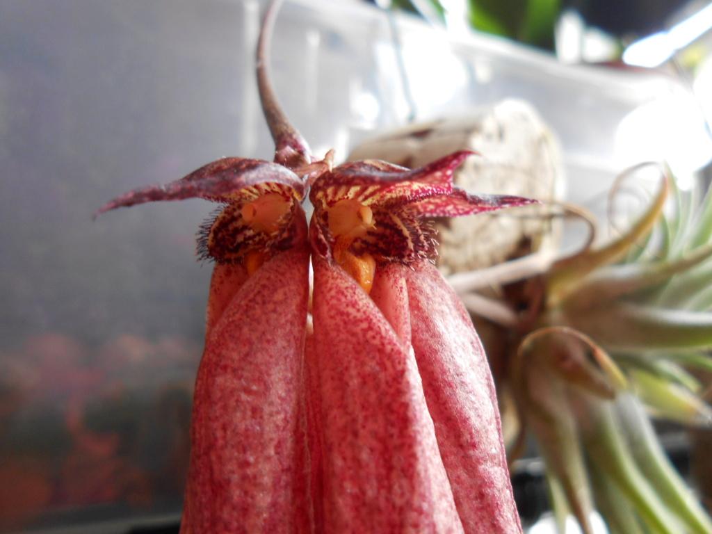 bulbophyllum plumatum x longissimum 20_20112