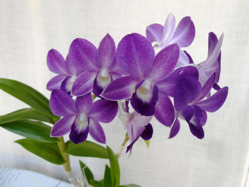 Dendrobium type Phalaenopsis 20_20116