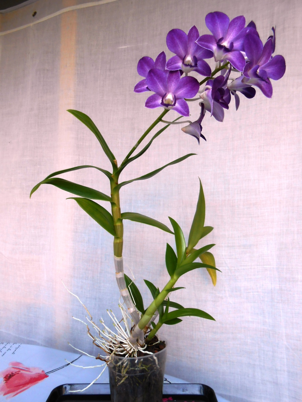 Dendrobium type Phalaenopsis 21_20113