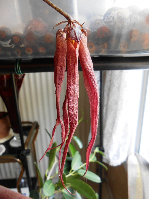 bulbophyllum plumatum x longissimum - Page 2 21_20210