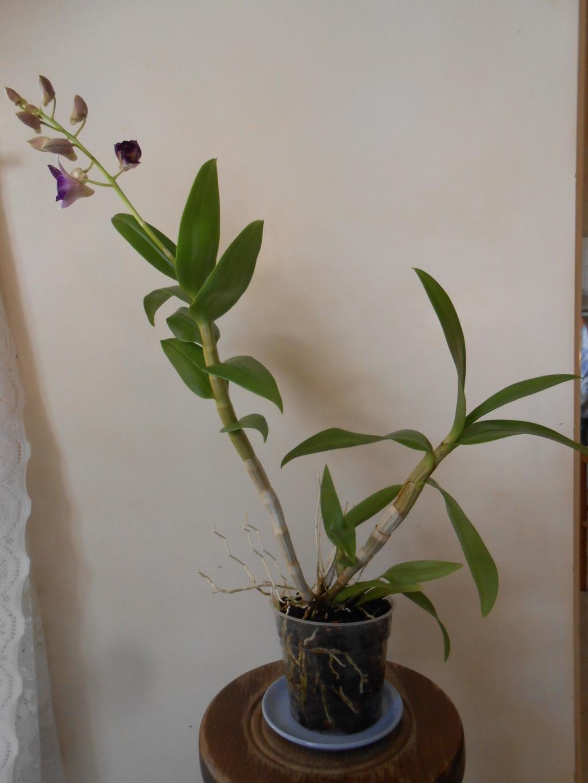 Dendrobium type Phalaenopsis 22_20111