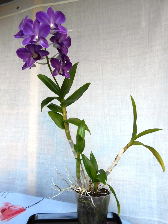 Dendrobium type Phalaenopsis 22_20118