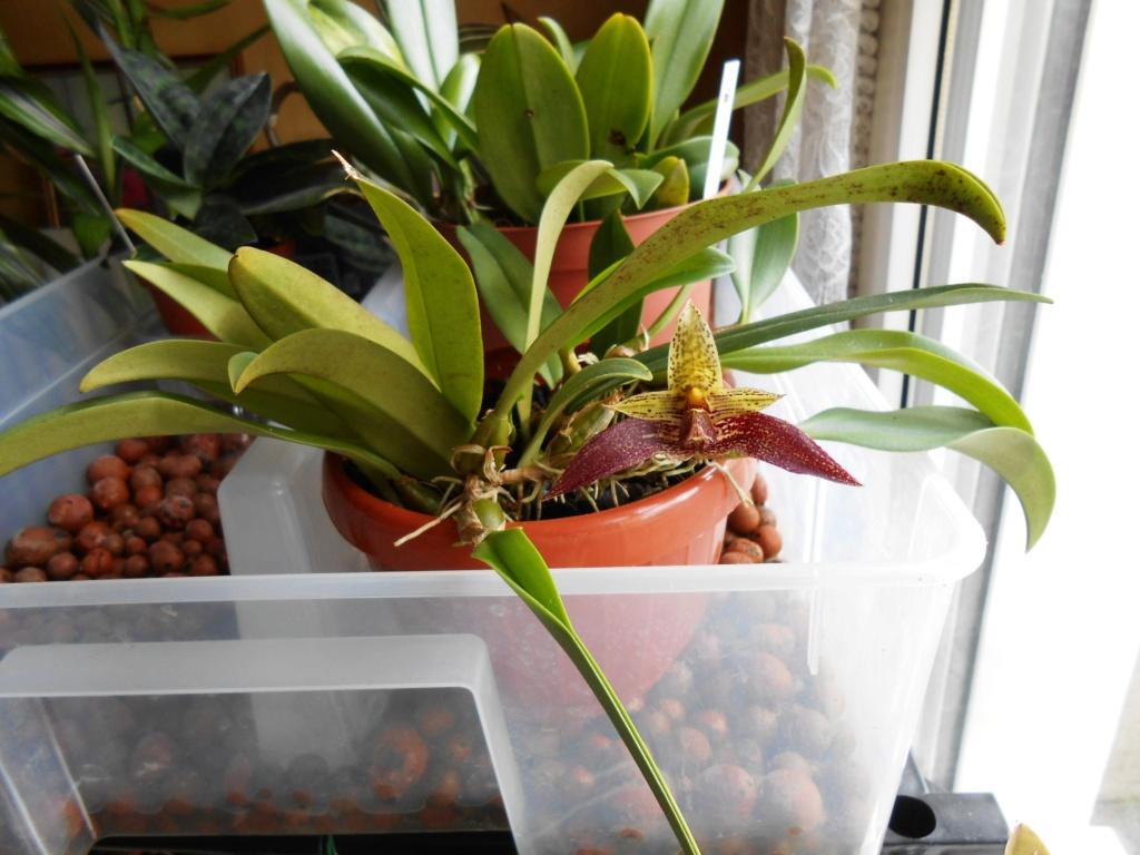 Bulbophyllum Sagarik 23_20115