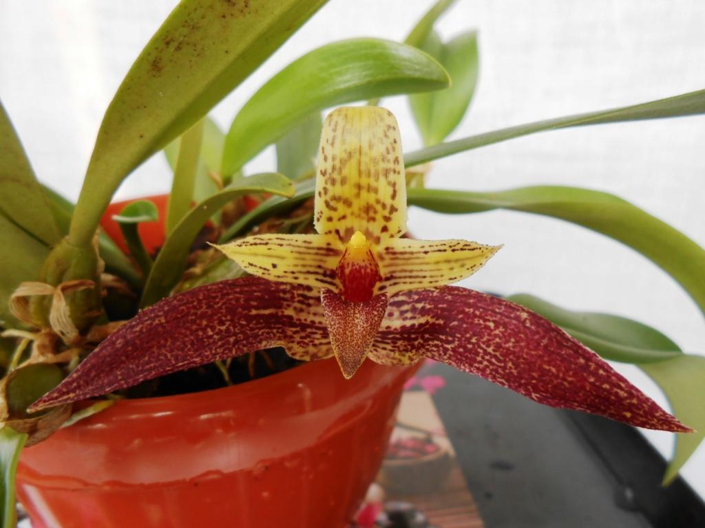 Bulbophyllum Sagarik 24_20116