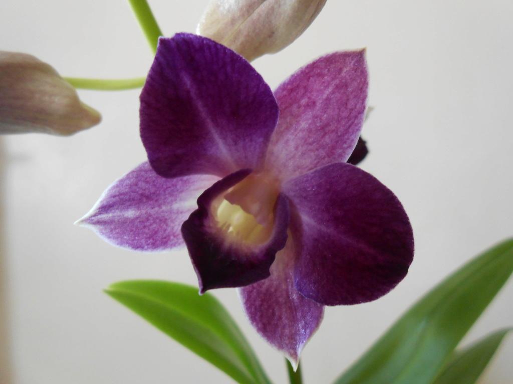 Dendrobium type Phalaenopsis 25_20110