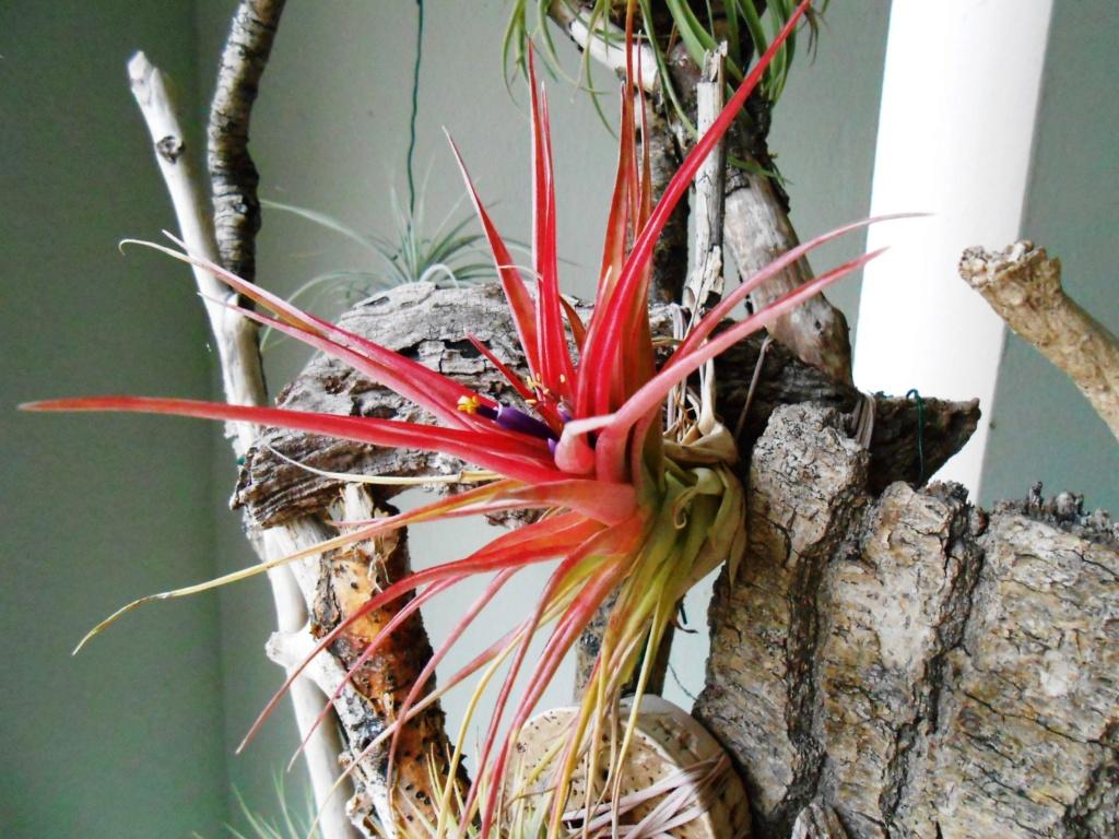 Floraison Tillandsia brachycaulos 25_20114