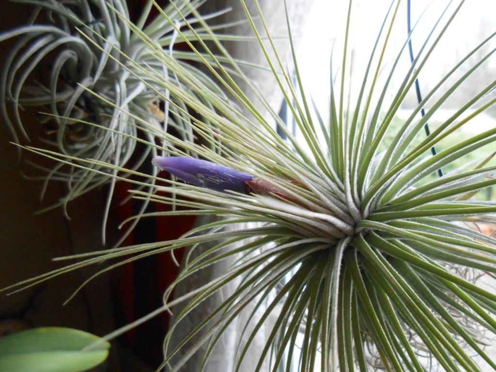 Floraison Tillandsia magnusiana 25_20210