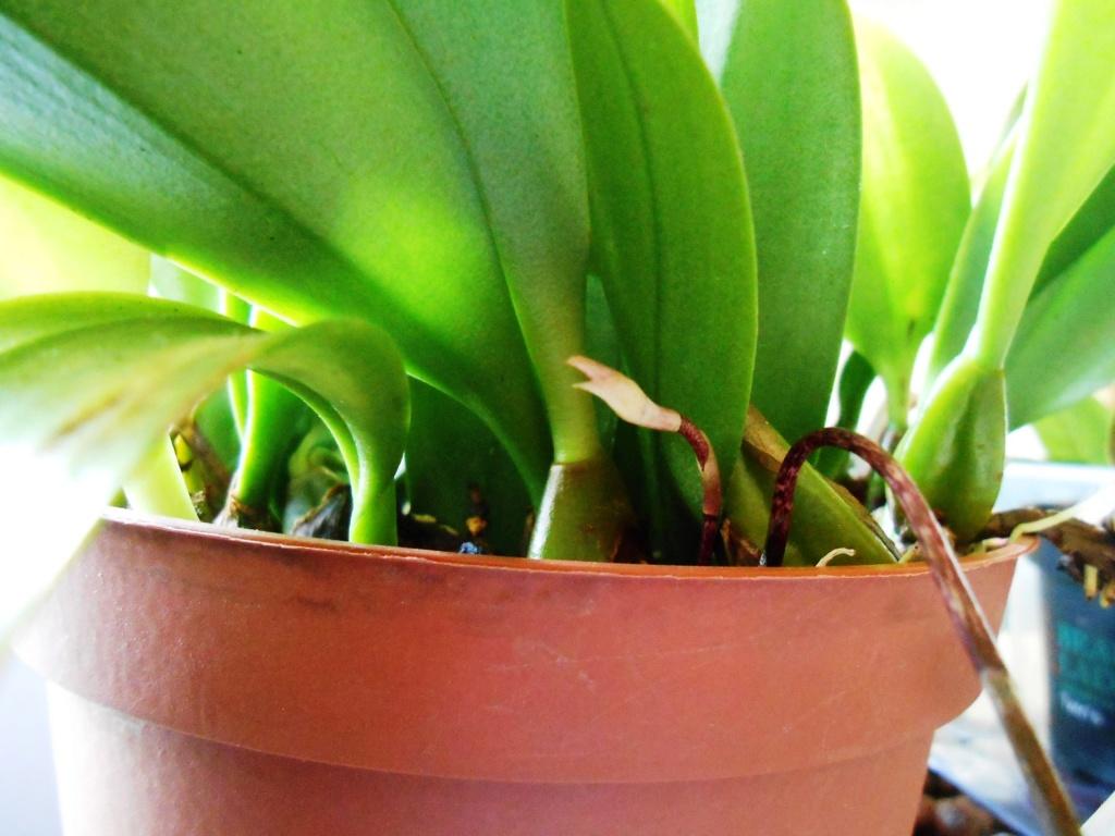 bulbophyllum plumatum x longissimum 26_20114