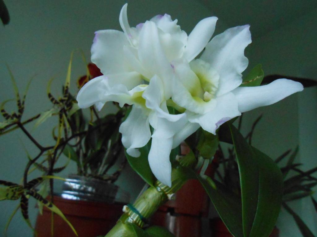 Dendrobium et keiki 28_20110