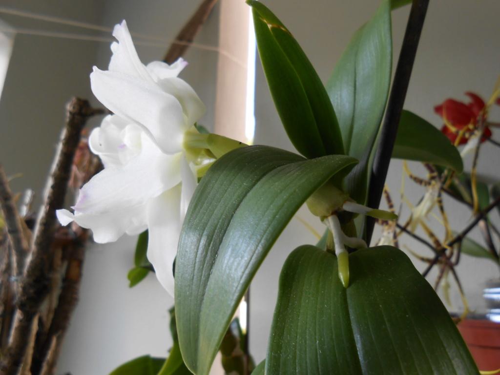 Dendrobium et keiki 29_20111