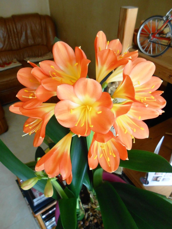 Floraison Clivia miniata 29_20210