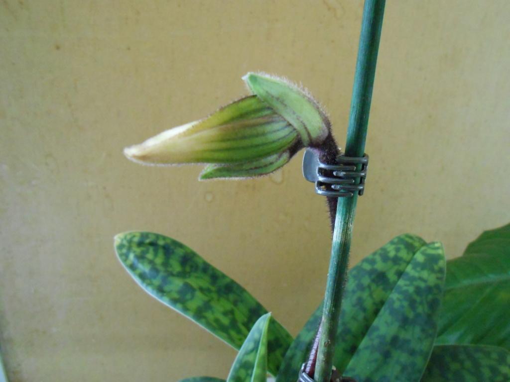 Paphiopedilum sukhakulii hybride 2_201812