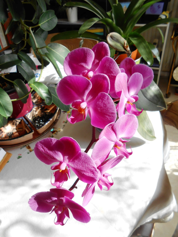 Floraison Phalaenopsis hybrides 2_202011