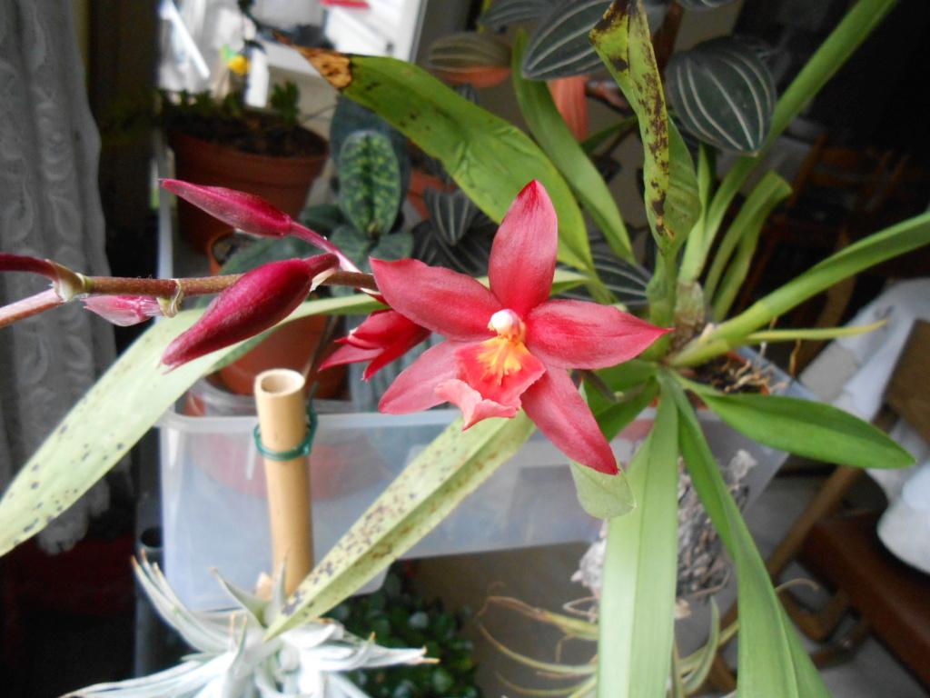Odontoglossum rouge 2_202110