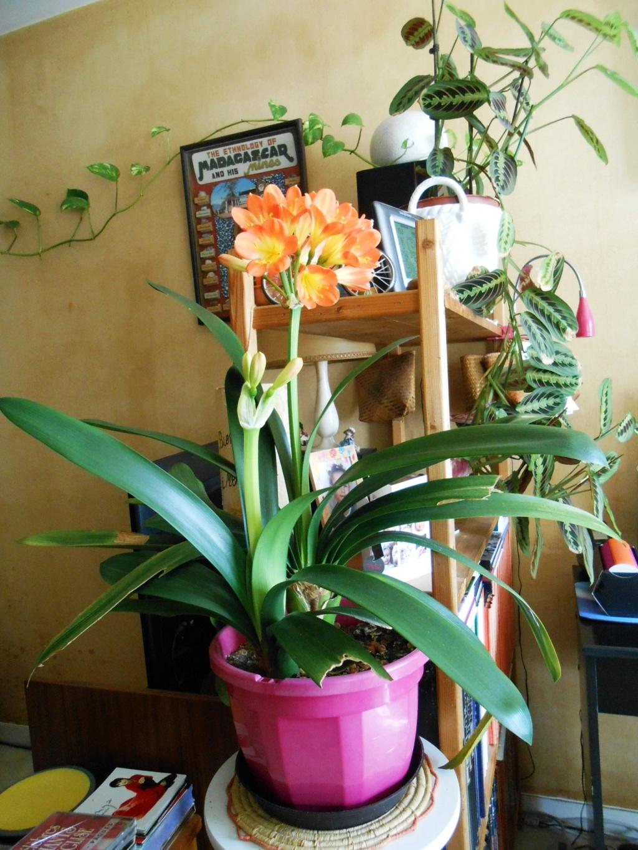 Floraison Clivia miniata 30_20210