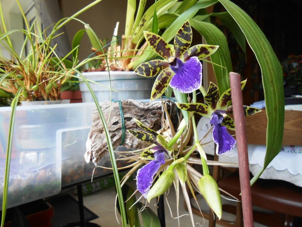 Zygopetalum trozy blue 31_20111