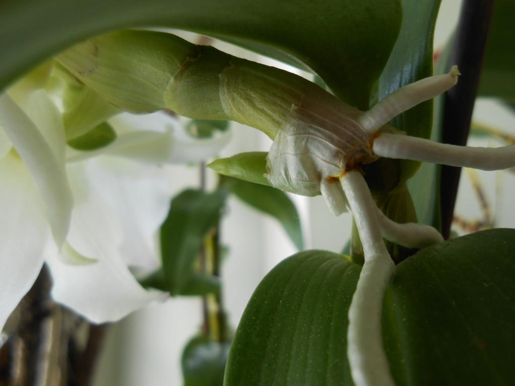 Dendrobium et keiki 32_20110