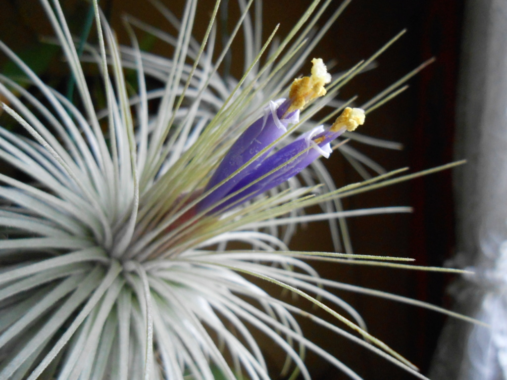 Floraison Tillandsia magnusiana 32_20210