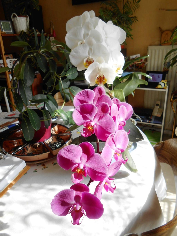 Floraison Phalaenopsis hybrides 3_202010