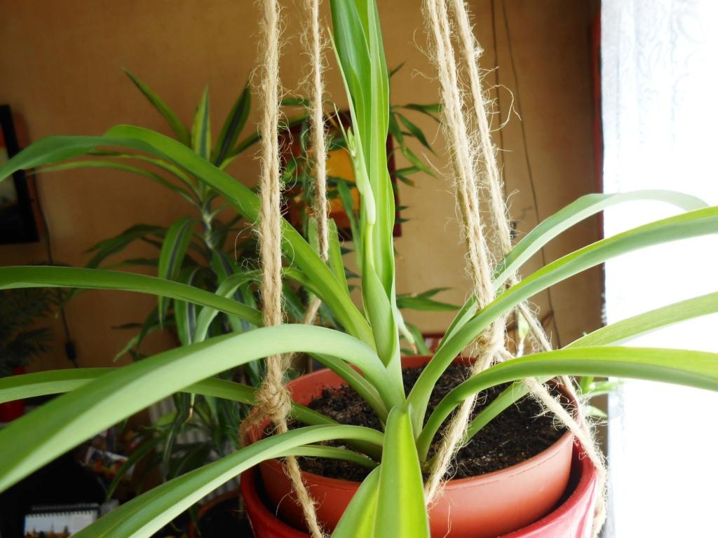 Floraison Chlorophytum 3_202017