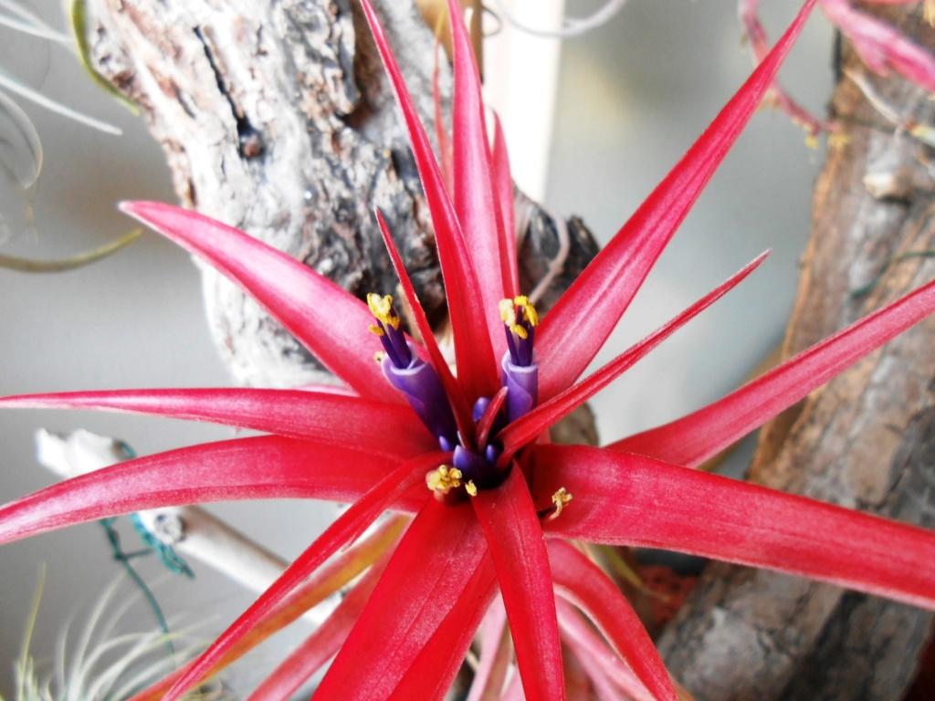 Floraison Tillandsia brachycaulos 44_20210