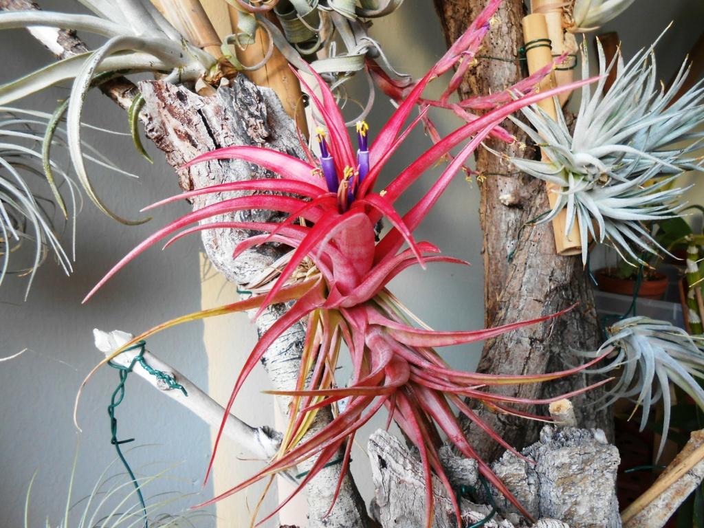 Floraison Tillandsia brachycaulos 45_20210