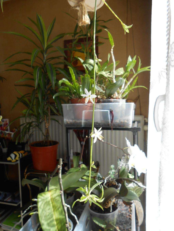 Floraison Chlorophytum 4_202012