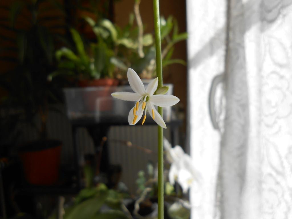 Floraison Chlorophytum 5_202012