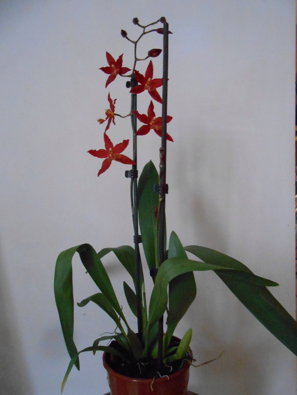 Floraison Oncidium hybride 6_201812