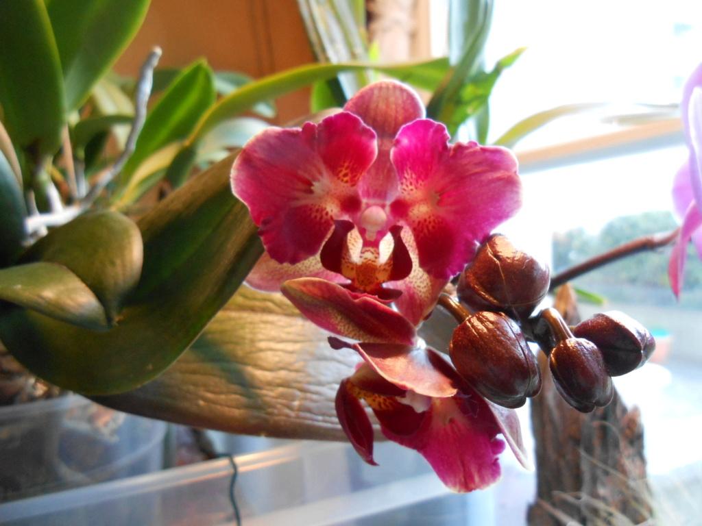 Floraison Phalaenopsis hybrides 6_202013