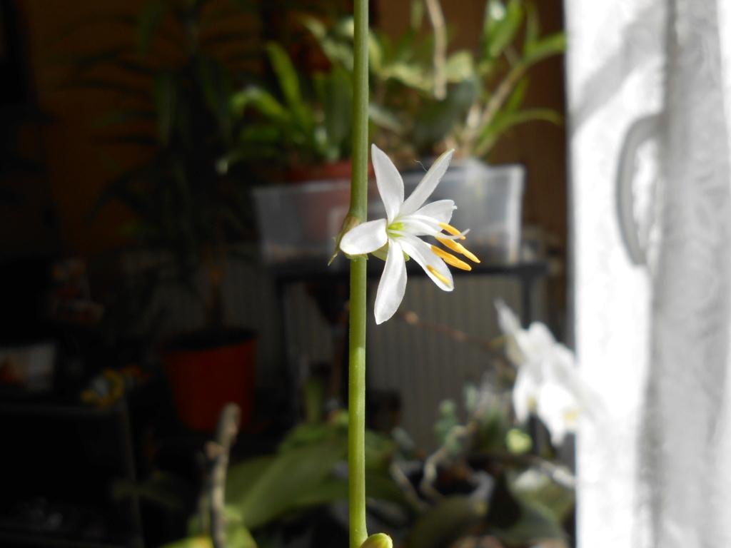 Floraison Chlorophytum 6_202015