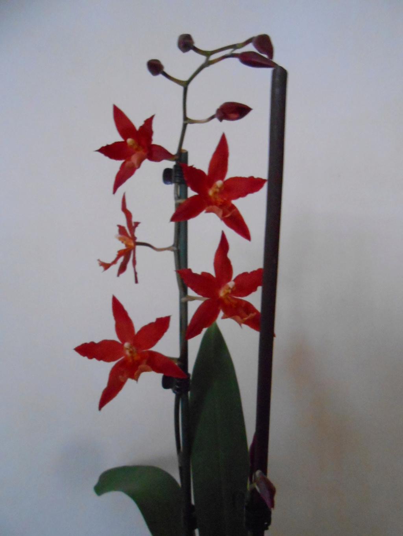 Floraison Oncidium hybride 7_201811
