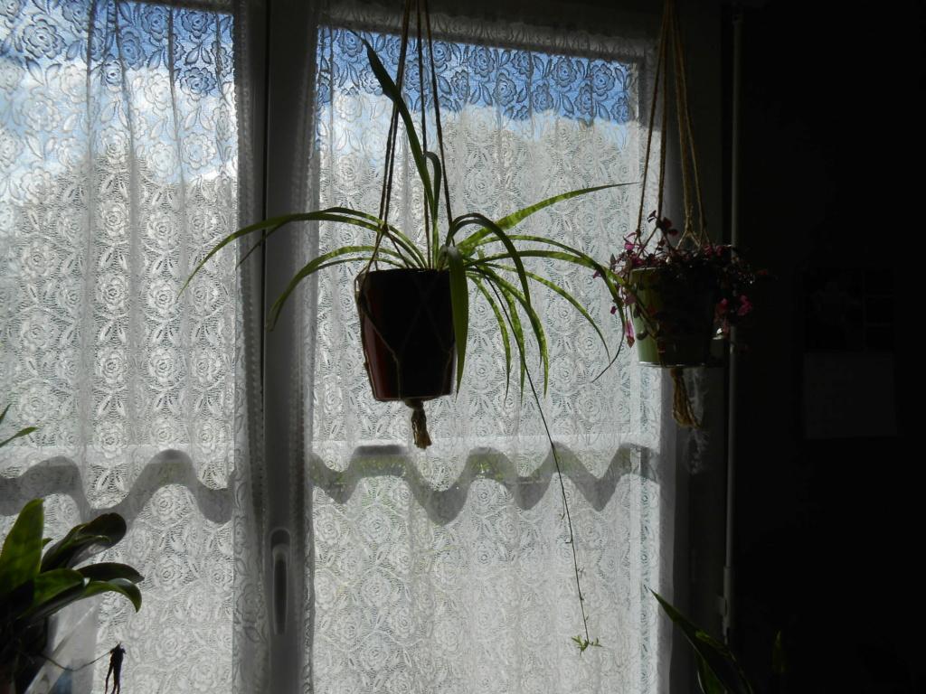 Floraison Chlorophytum 7_202015