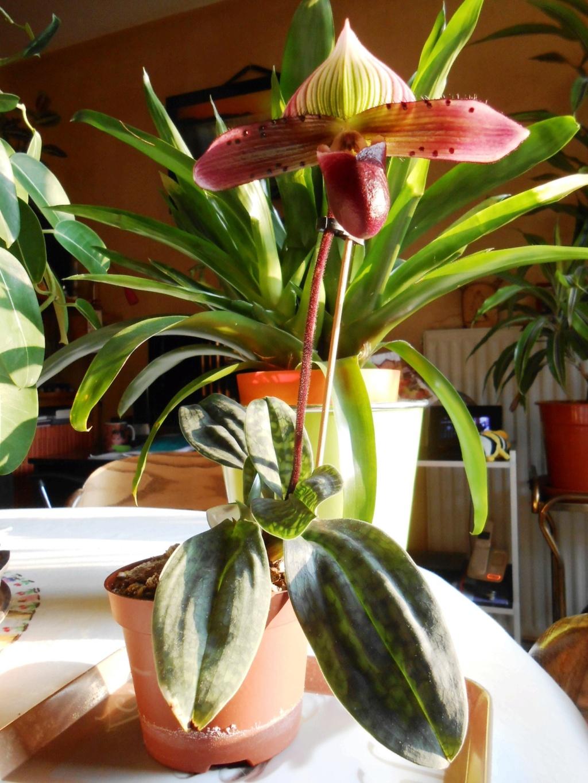 Paphiopedilum sukhakulii hybride 7_202110