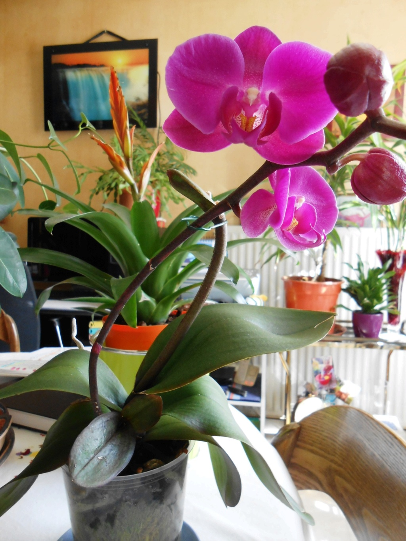 Floraison Phalaenopsis hybrides 8_202011