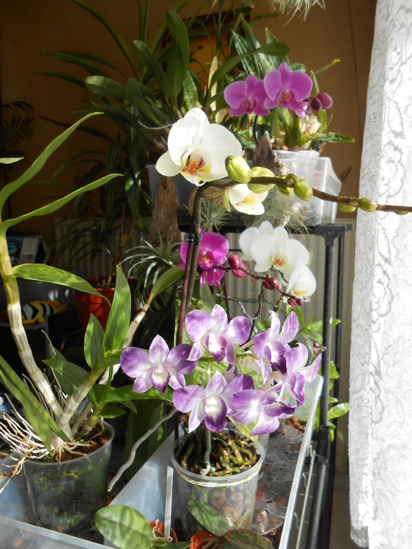 Floraison Phalaenopsis hybrides 8_202012
