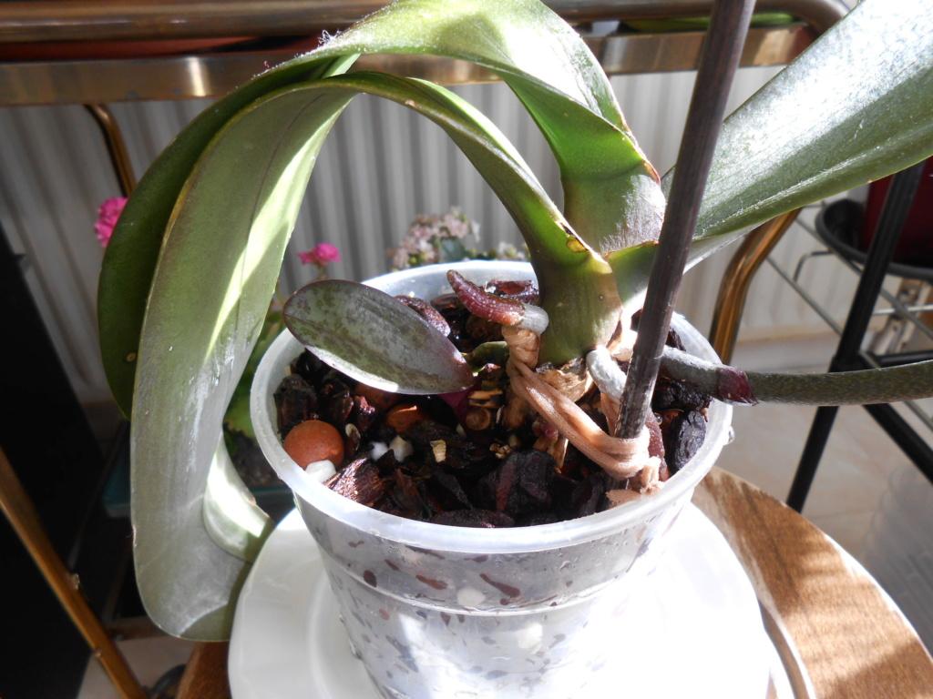 Curiosité Phalaenopsis 9_201810