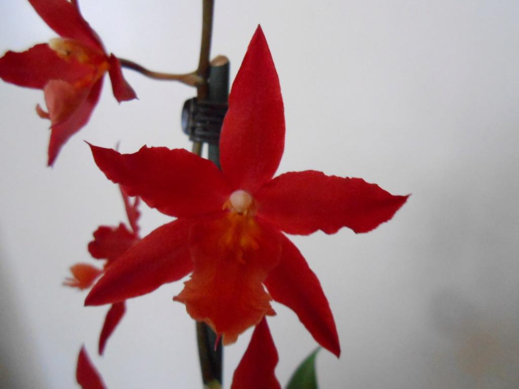 Floraison Oncidium hybride 9_201813