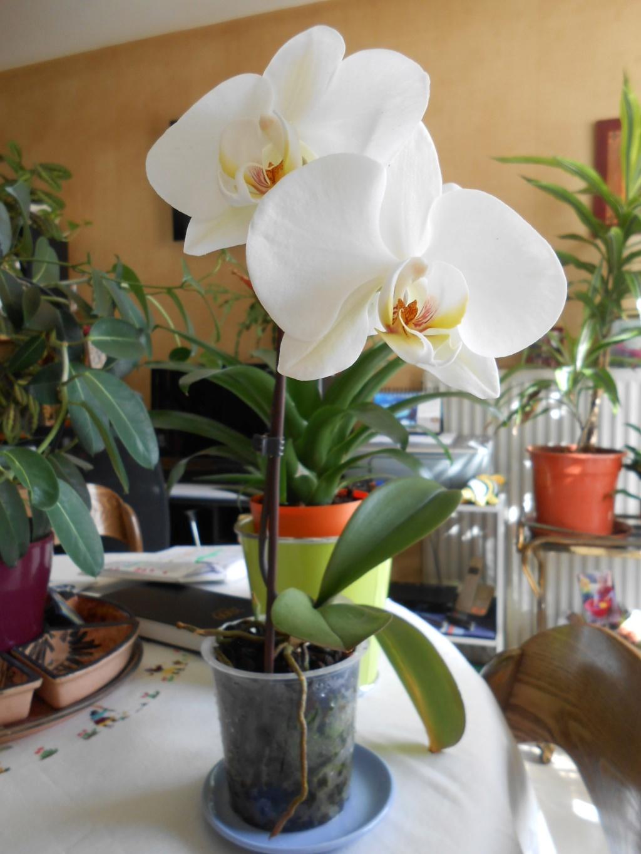 Floraison Phalaenopsis hybrides 9_202011