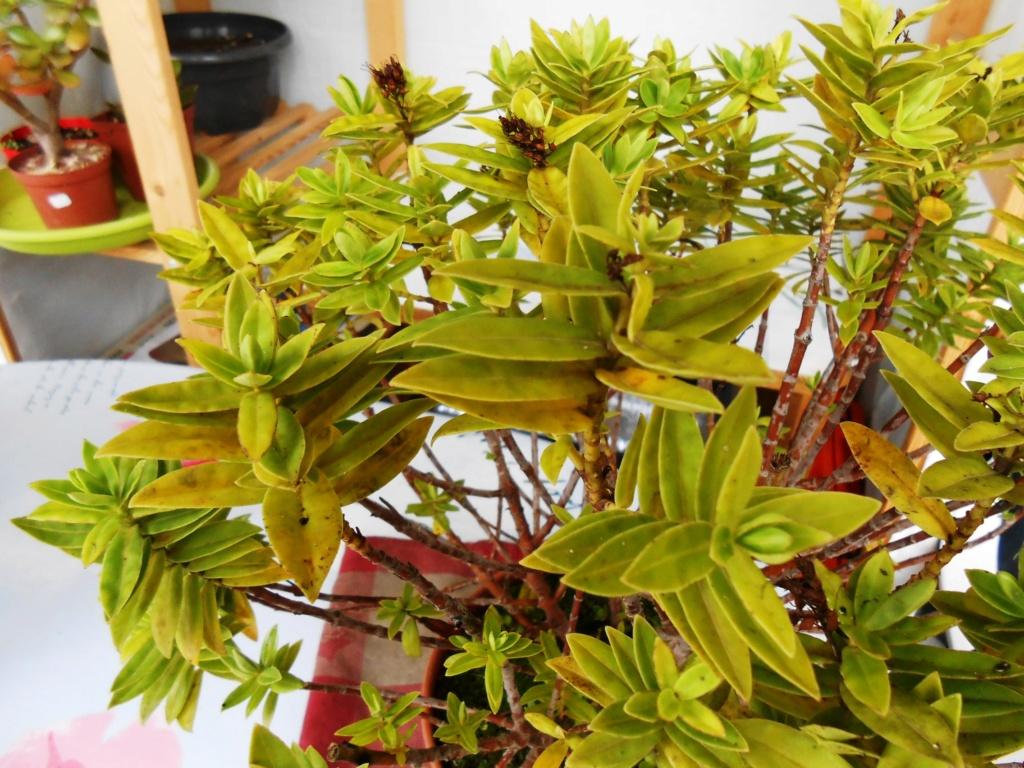 Plante ou arbuste inconnu Dscn0011