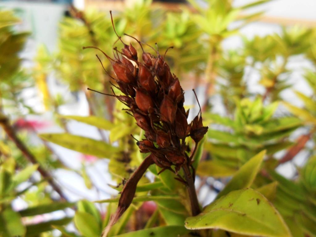 Plante ou arbuste inconnu Dscn0012